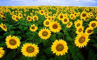 310px-Sunflowers